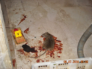 Health Inspector S Notebook Rats In The City