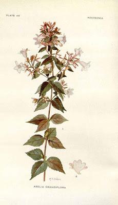 Abelia x grandiflora botanical image