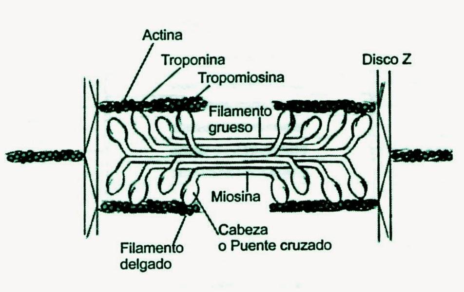 Fisiología del proceso contráctil del músculo esquelético