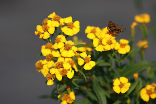Mexican Mint Marigold Vivero Growers Nursery Austin