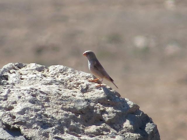 Trumpeter Finch - Fuerteventura