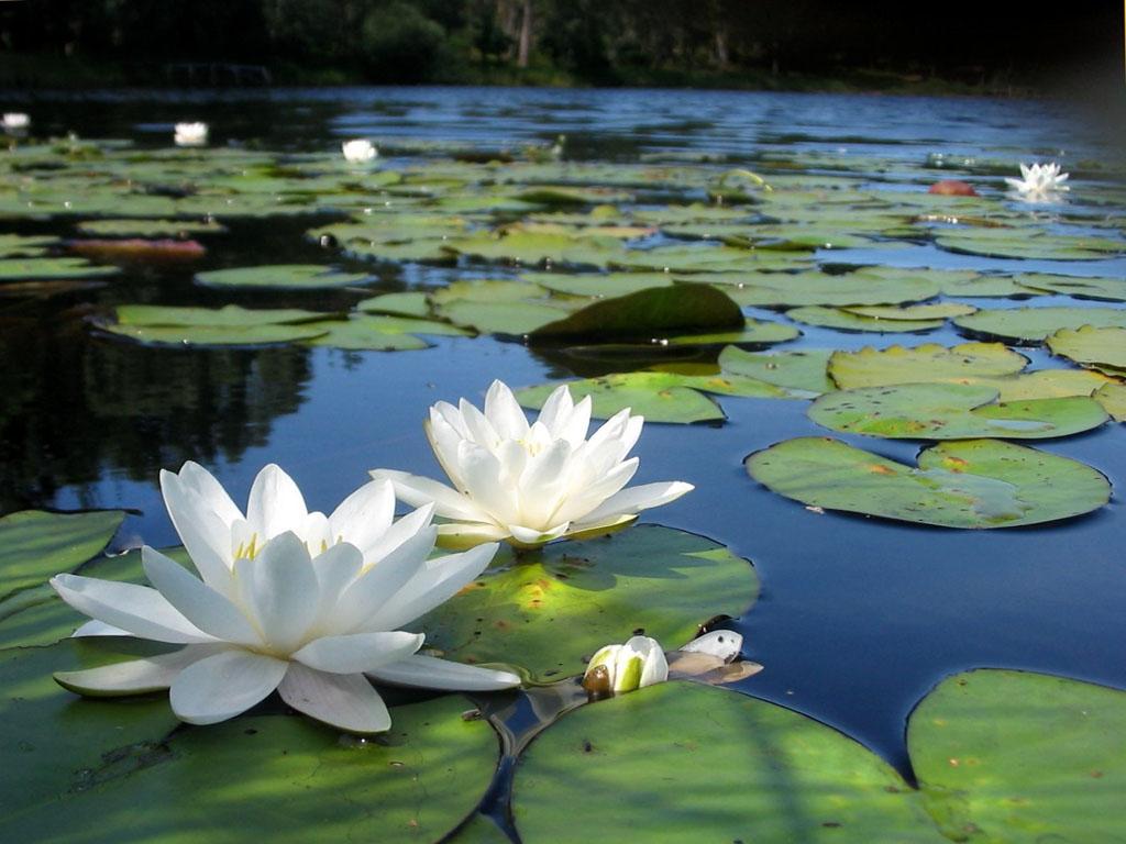 National Flower Of Bangladesh Payra Bd