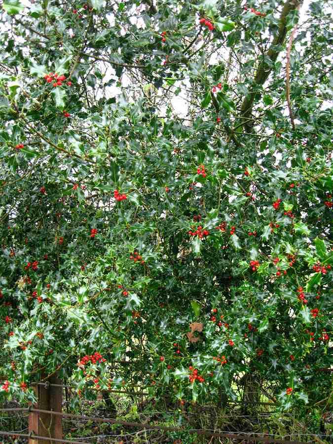 Trees Planet Ilex Aquifolium Holly