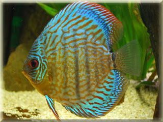Discus Fish Pictures