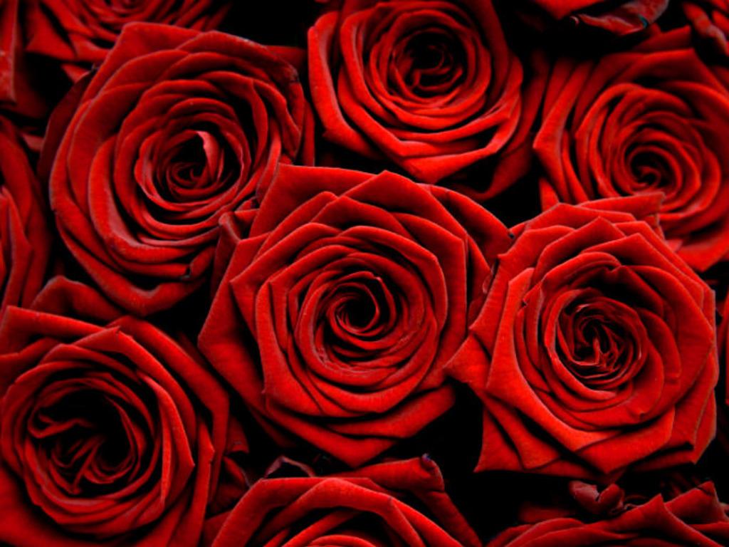 Beautiful Roses Hd Desktop Wallpapers In 1080p Super Hd
