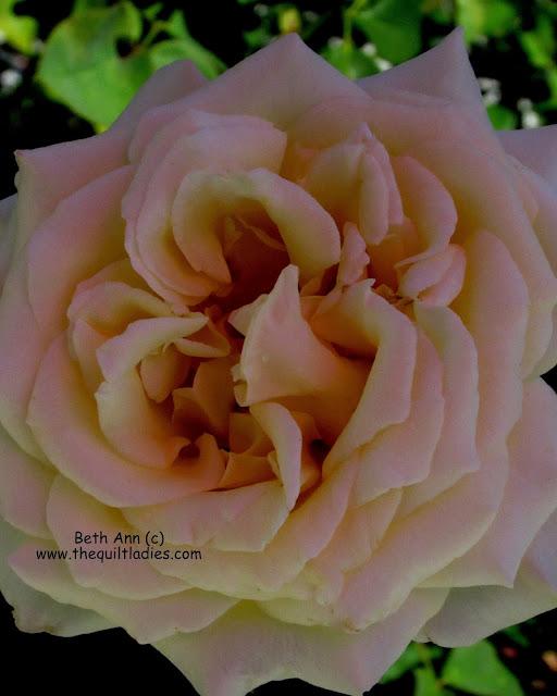 Rose photo by Beth Ann  Strub