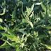 Στo βότανο Yerba santa μπορεί να κρύβεται η θεραπεία για τη νόσο Alzheimer