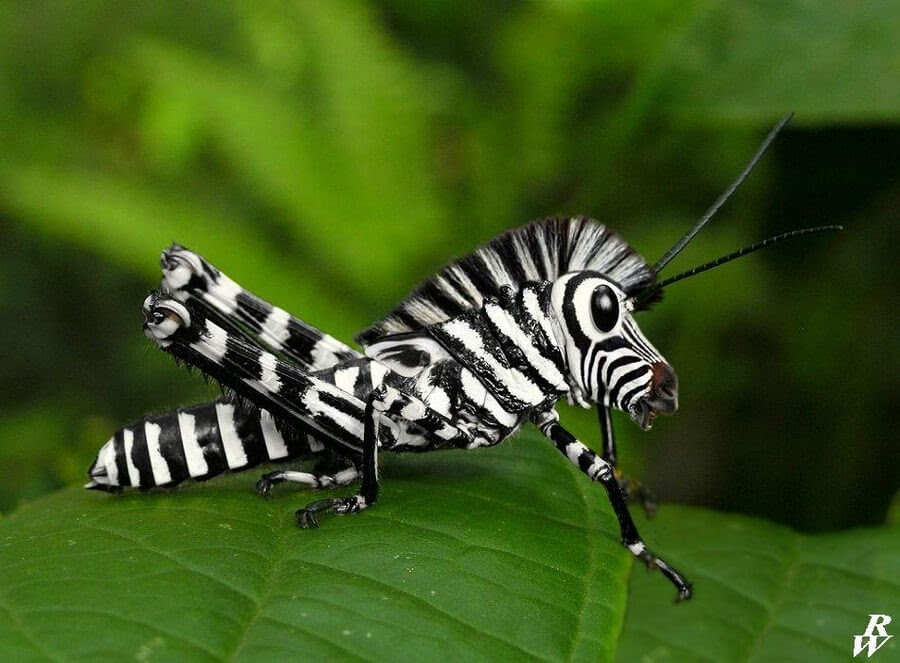 15-Cricket-and-Zebra-Rob-Westdorp-www-designstack-co