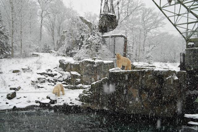 Eisbären-Fütterung Erlebnis-Zoo Hannover