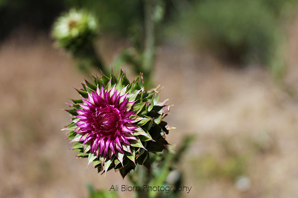 thistle beginning to open with prickly bloom