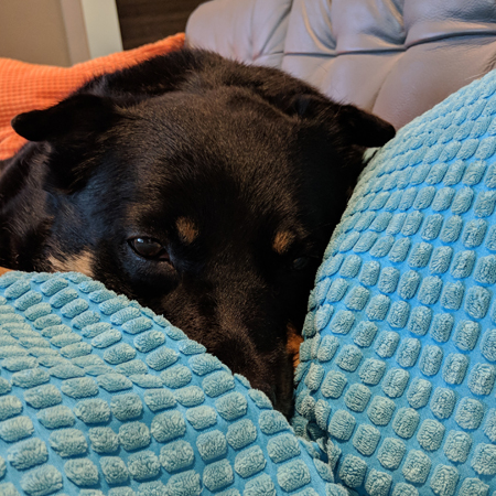 image of Zelda the Black and Tan Mutt, lying on the couch with her muzzle tucked between two pillows