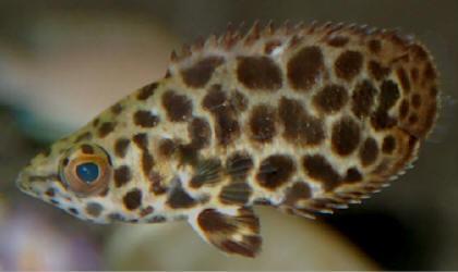 CTENOPOMA (Ctenopoma Acutirostre)
