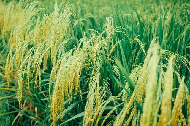 Rice fields in Cabanatuan City