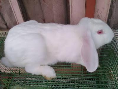Harga kelinci australia sepasang dan kelinci lokal di pasaran