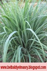 تعرف على نبات الحلفا بر وفوائده الطبيه والعلاجيه
