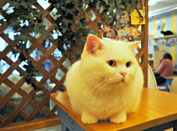 british shorthair france