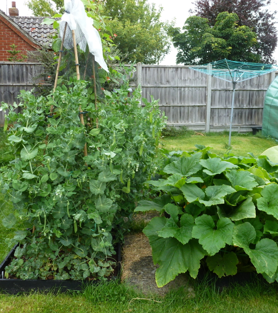 mangetout growing up netting
