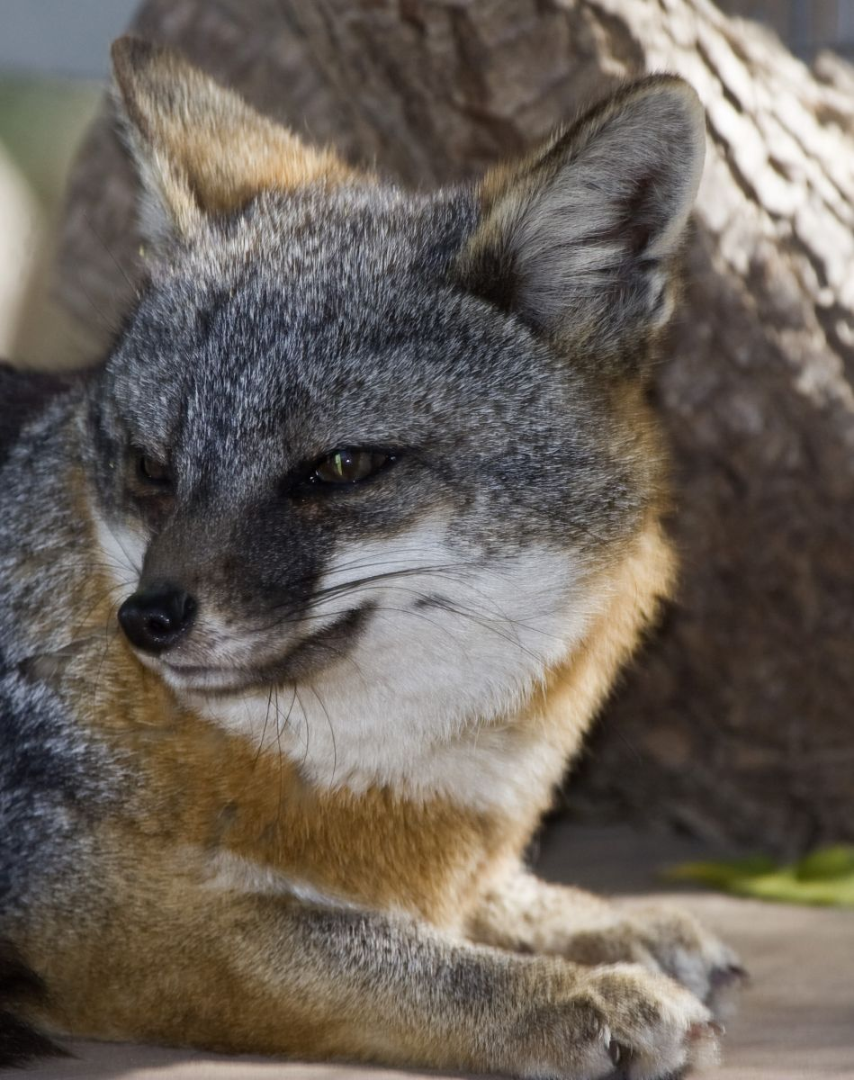 Lets Draw Endangered Species   Channel Island Fox