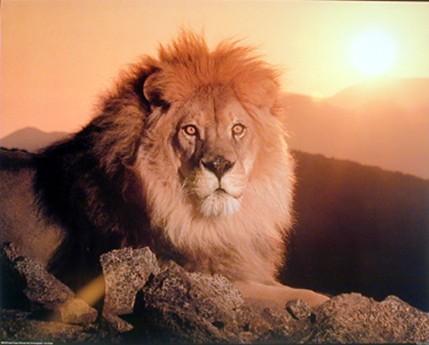Animals Wallpapers: beautiful lion