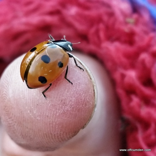 Ladybird on thumb