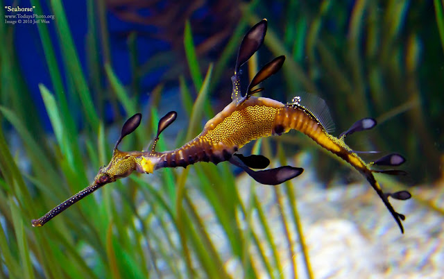 Weedy Sea Dragon (Phyllopteryx taeniolatus),