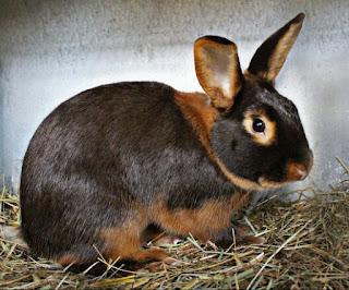 Jenis Kelinci Hias Tan