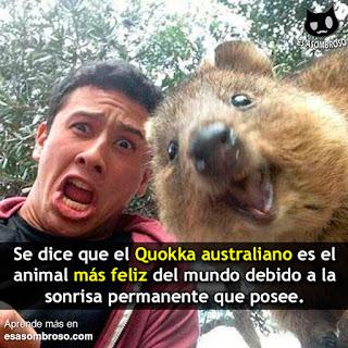 Conoce al Quokka Australiano ¡el animal más feliz del mundo!