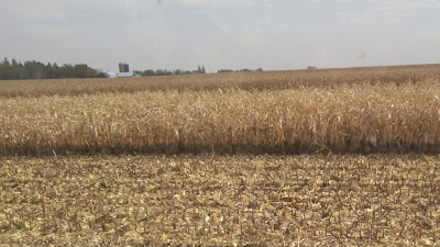Harvest Happenings - water line from flooding on corn in North Iowa