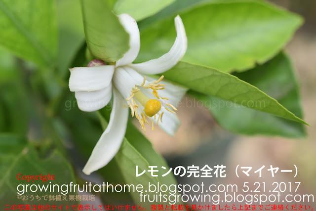 レモンの完全花