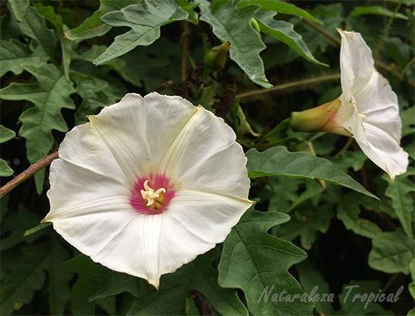 Naturaleza tropical bellas fotos y descripci n de las for Planta ornamental blanca nieves