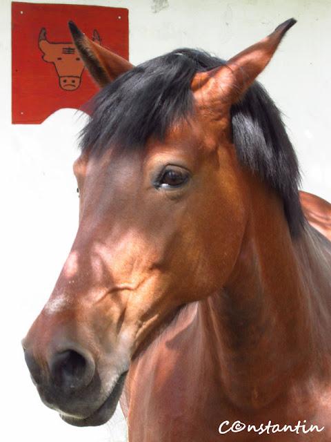 Portret de cal