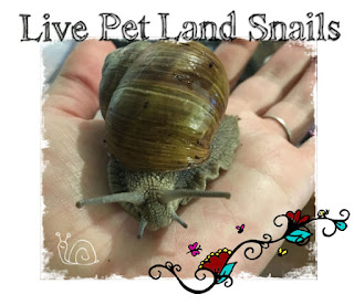 http://www.ebay.com/itm/Large-Live-Pet-Land-Snail-Hand-Raised-Cute-Easy-Pets-Great-Small-Pets-/122663430632?hash=item1c8f4f69e8:g:z6AAAOSw1g9ZnKtq