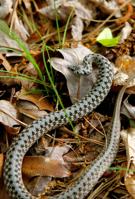 A Big Little Snake - Another Storeria dekayi