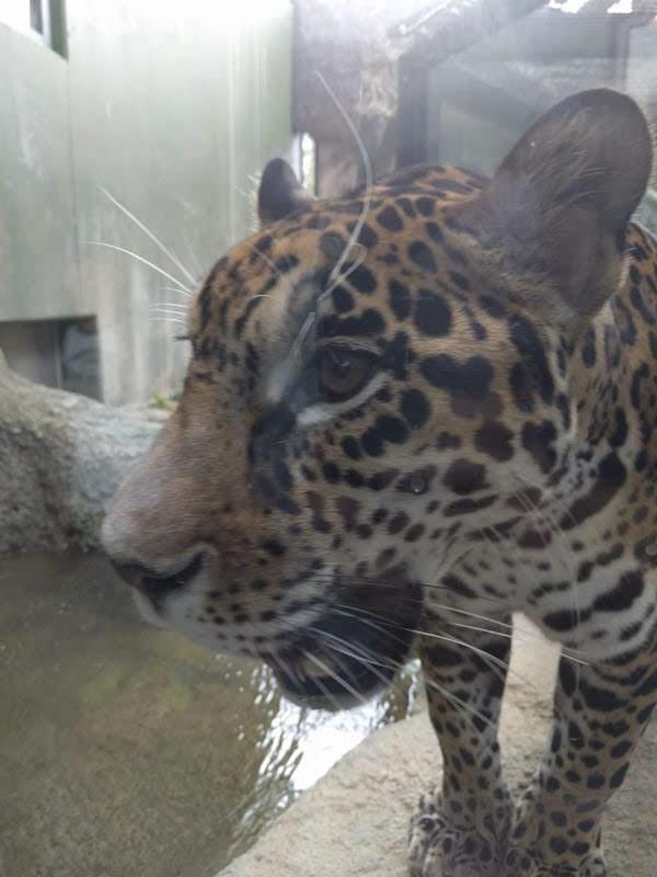 日本平動物園のトラ