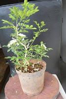 bonsai shaping and wiring ,murraya exotica