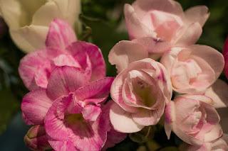 bunga gladiol Bunga Freesia
