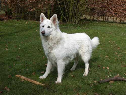 White Shepherd Dog Top Dogs Breeds