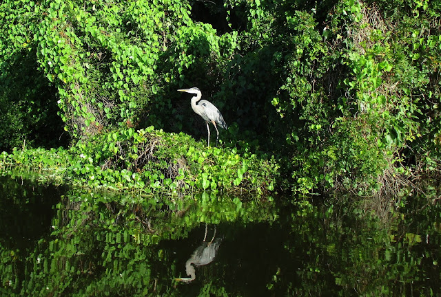 Great Blue Heron on our kayak tour with Central Florida Nature Adventures