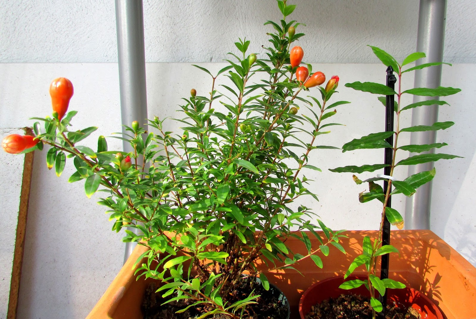 punica granatum nana my gardening. Black Bedroom Furniture Sets. Home Design Ideas