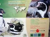 pinguin peruvian