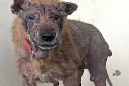 Rosaleen is 10 years old shepherd and her owner died, faithful pup trapped in high kill shelter as no one want her