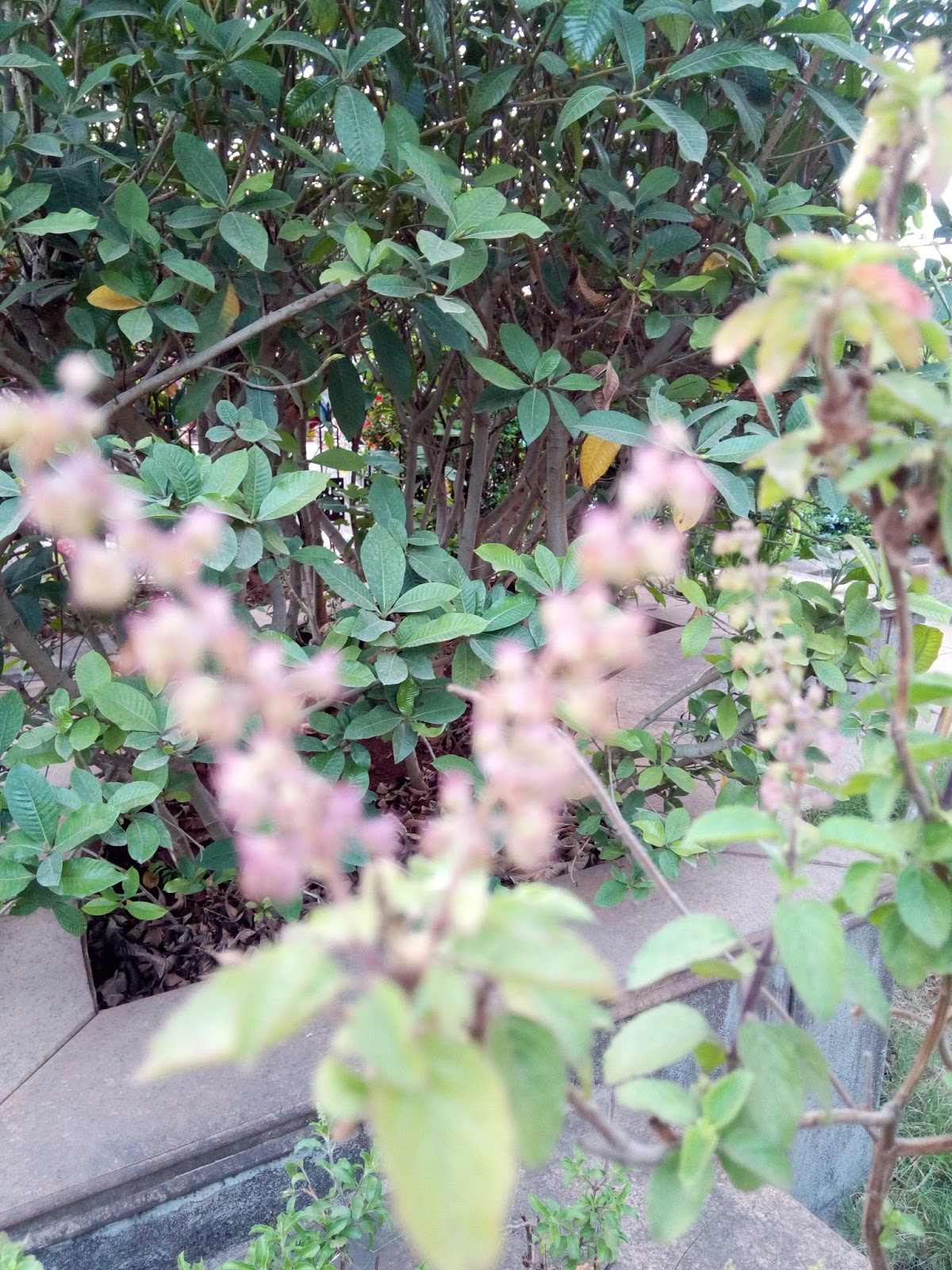 garden care simplified how to grow tulsi holy basil plants simple tricks for growing tulsi plants. Black Bedroom Furniture Sets. Home Design Ideas