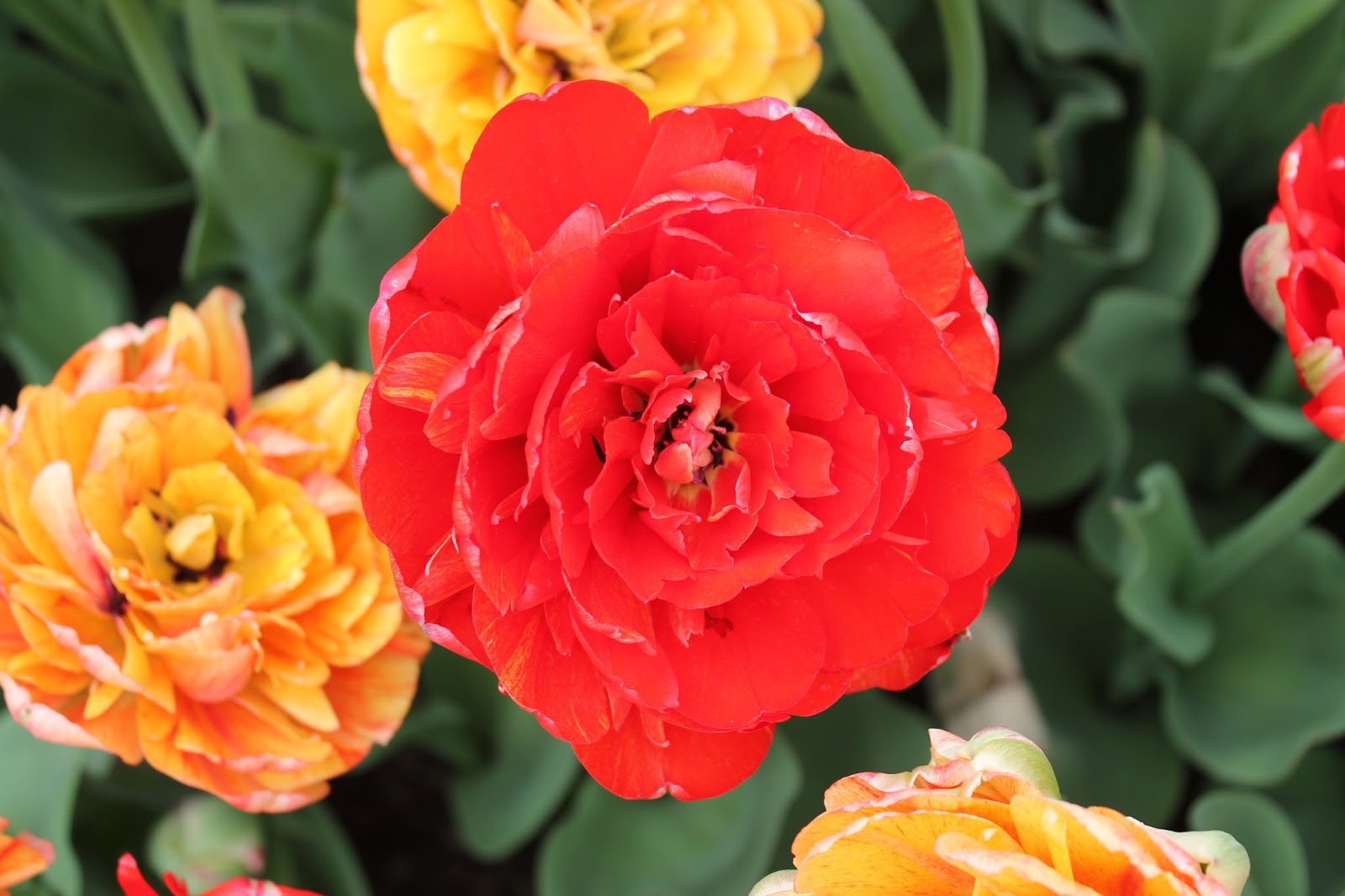 Albany's Tulip Fest--Homage to Its Dutch History