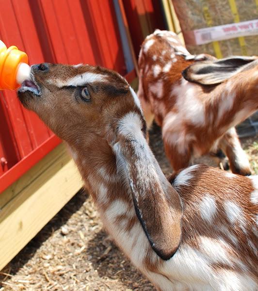 When To Wean Bottle Fed Goat Kids Modern Farming Methods