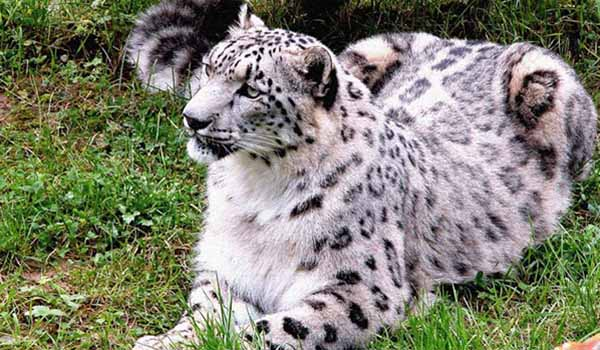 Snow Leopard, Great Himalayan National Park