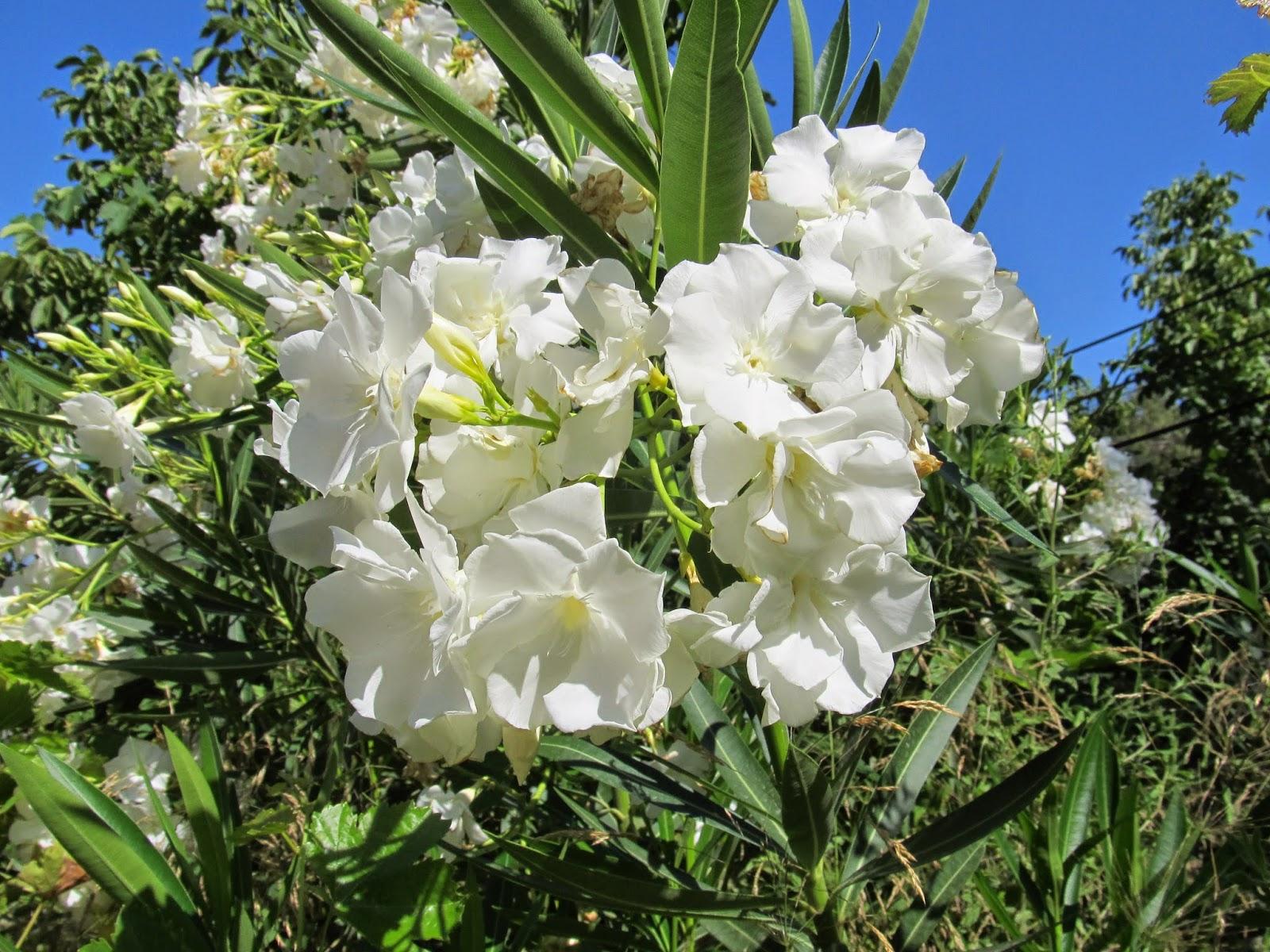 Ficus zehirli midir, erkek için değil mi