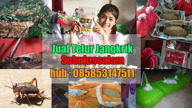 Jual Telur Jangkrik Subulussalam Hubungi 085853147511
