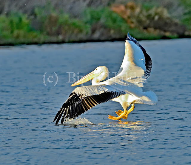 Great White Pelican Landing on Water