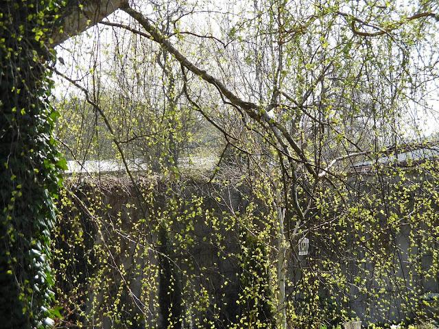 brzoza brodawkowata wiosną