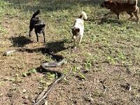 Empat Anjing Lawan King Kobra, Siapa yang Menang?